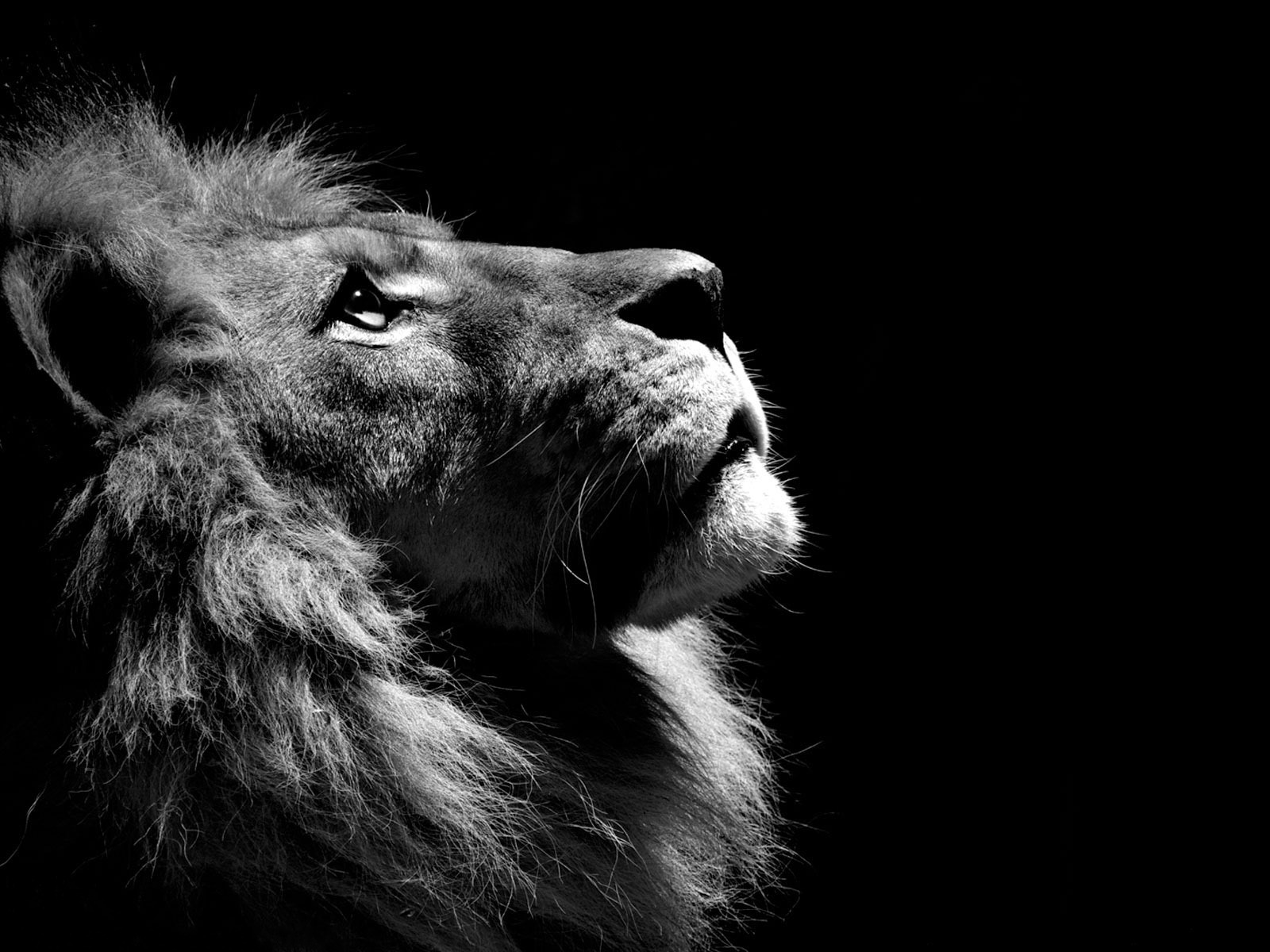 black-and-white-lion-animal-theme-cats-311421www.baseheadart.com_.jpg